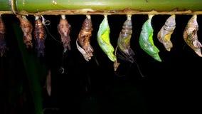 Χρυσαλίδες και χρυσαλίδα πεταλούδων στοκ εικόνες με δικαίωμα ελεύθερης χρήσης