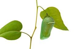 χρυσαλίδες μοναρχών πετ&alph στοκ φωτογραφία με δικαίωμα ελεύθερης χρήσης