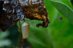 Χρυσαλίδες πεταλούδας στοκ φωτογραφία