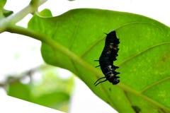 Χρυσαλίδες πεταλούδας στοκ φωτογραφίες