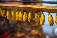 Χρυσαλίδες πεταλούδων ικτίνων εγγράφου στην άδεια που περιμένει τη νέα ζωή στοκ εικόνες
