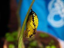 Χρυσαλίδες πεταλούδων ικτίνων εγγράφου στοκ εικόνα με δικαίωμα ελεύθερης χρήσης