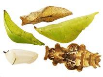 Χρυσαλίδες πεταλούδων που απομονώνονται στο άσπρο υπόβαθρο Στοκ Φωτογραφία