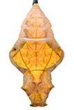 χρυσαλίδες Στοκ εικόνα με δικαίωμα ελεύθερης χρήσης