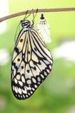Χρυσαλίδα μορφής αλλαγής πεταλούδων στοκ εικόνες