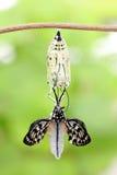 Χρυσαλίδα μορφής αλλαγής πεταλούδων στοκ φωτογραφία