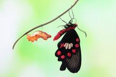 Χρυσαλίδα μορφής αλλαγής πεταλούδων στοκ φωτογραφία με δικαίωμα ελεύθερης χρήσης