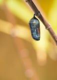 Χρυσαλίδα πεταλούδων μοναρχών στοκ εικόνα με δικαίωμα ελεύθερης χρήσης