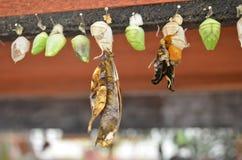 Χρυσαλίδα πεταλούδων Στοκ φωτογραφίες με δικαίωμα ελεύθερης χρήσης