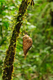 Χρυσαλίδα σε ένα δέντρο τροπικών δασών στοκ εικόνες