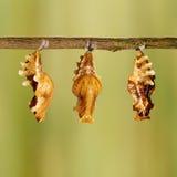 Χρυσαλίδα της κοινής ροδαλής ένωσης πεταλούδων στον κλαδίσκο στοκ φωτογραφία με δικαίωμα ελεύθερης χρήσης