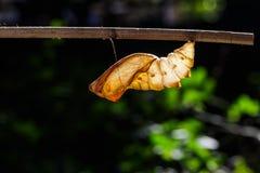 Χρυσαλίδα της Shell της κοινής birdwing πεταλούδας στοκ φωτογραφία