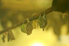 Χρυσαλίδες των πεταλούδων σε ένα εκτροφείο εντόμων Στοκ Εικόνες