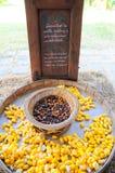 Χρυσαλίδες Στοκ φωτογραφία με δικαίωμα ελεύθερης χρήσης