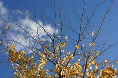 Χρυσοί γυμνοί κλάδοι Στοκ φωτογραφία με δικαίωμα ελεύθερης χρήσης