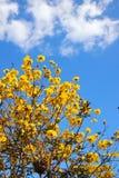 Χρυσοί λουλούδι και μπλε ουρανός δέντρων κινηματογραφήσεων σε πρώτο πλάνο Στοκ Εικόνα