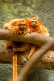 Χρυσοί πίθηκοι tamarin λιονταριών Στοκ φωτογραφία με δικαίωμα ελεύθερης χρήσης