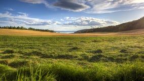 Χρυσοί τομείς καλαμποκιού με τη χλόη στο μέτωπο Στοκ Εικόνες