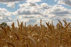 Χρυσοί τομείς των δημητριακών ενάντια σε έναν νεφελώδη ουρανό Στοκ Εικόνες
