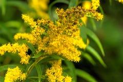 χρυσόβεργα το ανθίζοντας πεδίο ημέρας το αγροτικό καλοκαίρι της Sally λουλουδιών Στοκ φωτογραφία με δικαίωμα ελεύθερης χρήσης