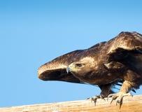 Χρυσός αετός, περίπου για να απογειωθεί Στοκ Εικόνες