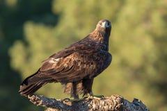 Χρυσός αετός που κοιτάζει επίμονα στη κάμερα, Ανδαλουσία, Ισπανία Στοκ Εικόνες