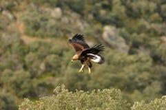 Χρυσός αετός που προσγειώνεται σε ένα δέντρο Στοκ Φωτογραφίες