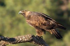 Χρυσός αετός σε έναν κλάδο, Ανδαλουσία, Ισπανία Στοκ Εικόνες