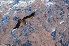 Χρυσός αετός Στοκ Εικόνα