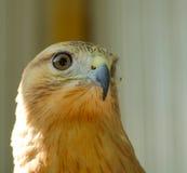 Χρυσός αετός Στοκ εικόνες με δικαίωμα ελεύθερης χρήσης