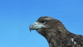 Χρυσός αετός Aquila Chrysaetos με το μπλε ουρανό απόθεμα βίντεο