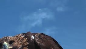 Χρυσός αετός Aquila Chrysaetos με το μπλε ουρανό φιλμ μικρού μήκους