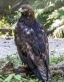 Χρυσός αετός, chrysaetos Aquila, πουλιά του θηράματος Στοκ Εικόνα