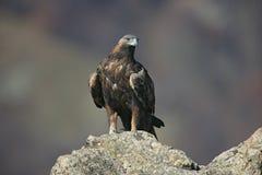 Χρυσός αετός, chrysaetos Aquila Στοκ Εικόνες