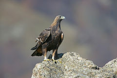 Χρυσός αετός, chrysaetos Aquila Στοκ εικόνα με δικαίωμα ελεύθερης χρήσης
