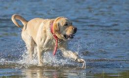 Χρυσός ανακτήστε το σκυλί απολαμβάνοντας το νερό στην παραλία στοκ φωτογραφία με δικαίωμα ελεύθερης χρήσης