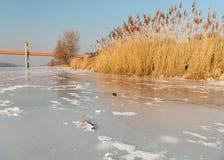 Χρυσός αναμμένος κάλαμος σε έναν παγωμένο ποταμό Στοκ Εικόνες