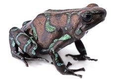 Χρυσός βάτραχος βελών δηλητήριων Στοκ Φωτογραφία