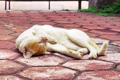 Χρυσός-διευθυνμένος οκνηρός χρόνος της γάτας Στοκ εικόνα με δικαίωμα ελεύθερης χρήσης