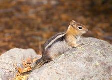 χρυσός καλυμμένος έδαφος σκίουρος στοκ εικόνες με δικαίωμα ελεύθερης χρήσης