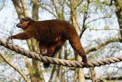 Χρυσός κερκοπίθηκος μπαμπού - Hapalemur χρυσό Στοκ εικόνα με δικαίωμα ελεύθερης χρήσης