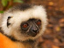 Χρυσός κερκοπίθηκος Sifaka, Μαδαγασκάρη Στοκ Φωτογραφίες