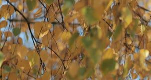 Χρυσός κυματισμός φύλλων στον αέρα σε ένα φθινοπωρινό δάσος απόθεμα βίντεο