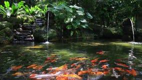 Χρυσός κυπρίνος στη λίμνη, πάρκο πουλιών KL, Μαλαισία φιλμ μικρού μήκους