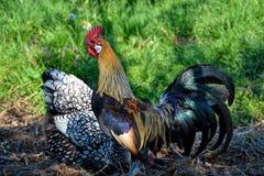 Χρυσός κόκκορας του Phoenix στην παραδοσιακή αγροτική αυλή Ελεύθερη καλλιέργεια πουλερικών σειράς Στοκ Εικόνες