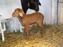 χρυσός - μαλλιαρά πρόβατα Στοκ Φωτογραφία
