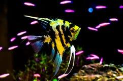 Χρυσός-μαύρο σχέδιο Angelfish που κολυμπά σε μια δεξαμενή ψαριών Στοκ εικόνες με δικαίωμα ελεύθερης χρήσης