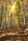 Χρυσός Οκτώβριος με τα όμορφα χρωματισμένα δέντρα οξιών Στοκ Εικόνα