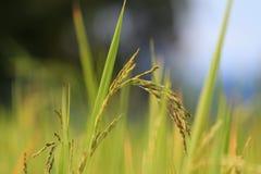 Χρυσός ορυζώνας ρυζιού Στοκ φωτογραφία με δικαίωμα ελεύθερης χρήσης