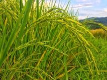 Χρυσός ορυζώνας στον πράσινο τομέα ρυζιού στοκ φωτογραφία με δικαίωμα ελεύθερης χρήσης